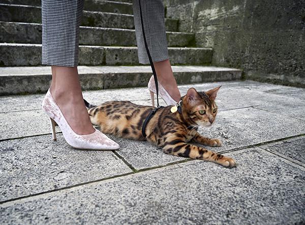 cat joaodeprince bengaljojo famouscat cat bengal isabeldeprince isabel de prince model female paris belgianmodel flemish french capital fashion feraggio champagnevelvet velvet stairs